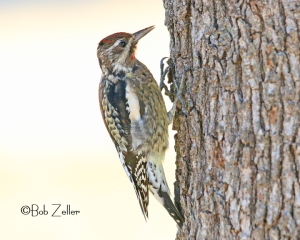 Yelllow-bellied Sapsucker