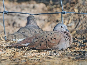 Ruddy Ground Dove Very rare here, drove only 20 miles after getting a phone call about it.