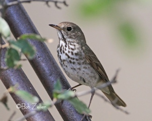 Hermit Thrush This is the first one I ever saw at Eldorado, Texas.
