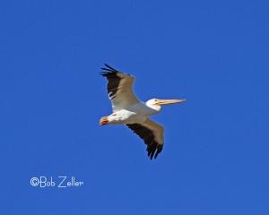 American White Pelican in flight.