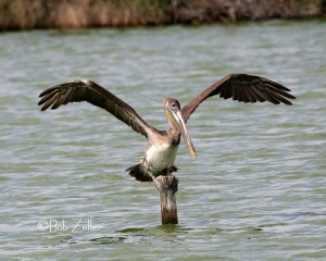 Brown Pelican rare to local area.