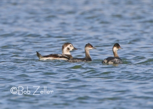 Long-tailed Duck accompanied by a couple of Eared Grebes.