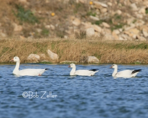 Snow Goose, leading two Ross's Geese.