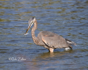 Great Blue Heron with catch of the day.