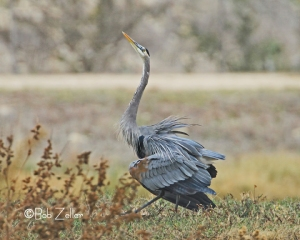 Great Blue Heron mating dance