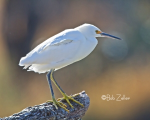 Snowy Egret backlit by the morning sun.