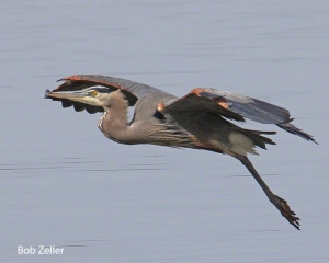Great Blue Heron.  Canon EOS 40D, 100-400mm lens.  1/1000 @  f11, ISO 400.