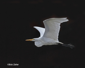 Great Egret.  Canon EOS 7D, 100-400mm lens.  1/500 sec. @ f9, ISO 1600.