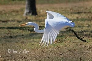 Great Egret in flight.
