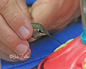 After getting her new band, this Anna's Hummingbird gets a drink with the help of Bryan before taking flight.