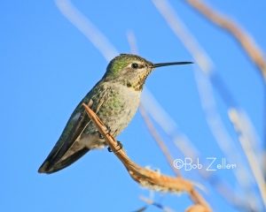 Anna's Hummingbird photographed at Lajitas, Texas.