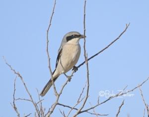 Loggerhead Shrike photographed near Eldorado, Texas
