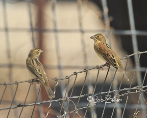 Pair of Dickcissels.