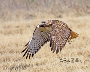 Red-tailed Hawk in flight.  Canon EOS 7D, 100-400mm lens.  1/3200 sec. @f6.3, ISO 400.