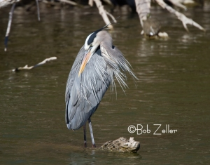 Great Blue Heron, San Angelo, Texas
