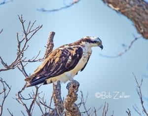 Osprey, San Angelo, Texas