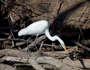 Great Egret, San Angelo, Texas