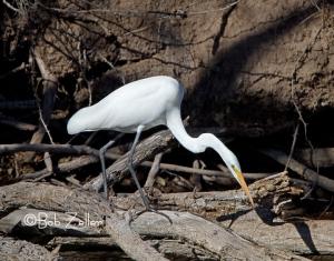 Great Egret, San Angelo, Texas
