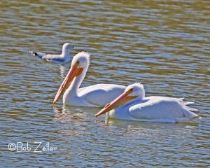 American Pelicans being photo-bombed by a Ringed-bill Gull.