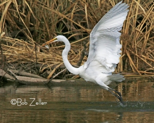 Great Egret - triumphant with his catch.