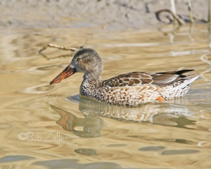 Gadwall- cropped and edited