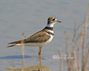 Killdeer - cropped and edited