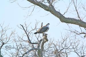 Osprey - from camera