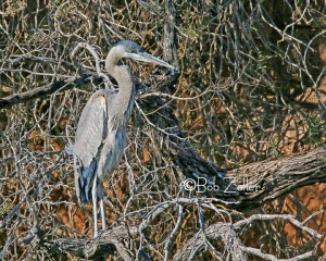 Great Blue Heron - cropped and edited