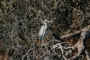 Great Blue Heron - orig