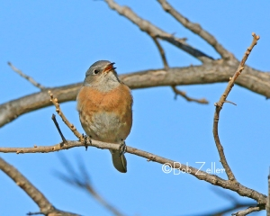 Eastern Bluebird - cropped and edited