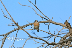 Eastern Bluebird - orig