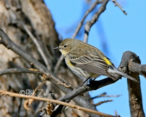 Yellow-rumped Warbler - cropped and edited