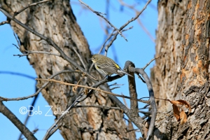 Yellow-rumped Warbler - original