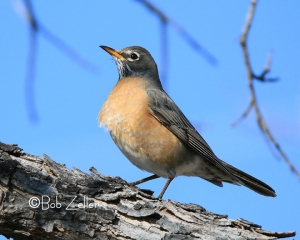 American Robin - cropped and edited.