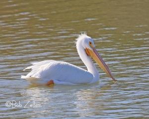 Northern Pelican