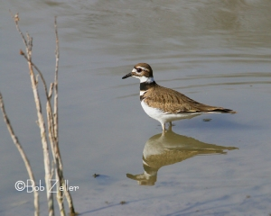 Killdeer -  he was doing a bit of feeding, too.