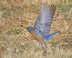 Western Bluebird - showing off it's beautiful plumage.