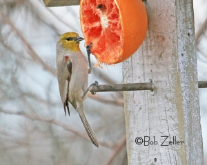 Verdin - at feeder at San Angelo State Park.