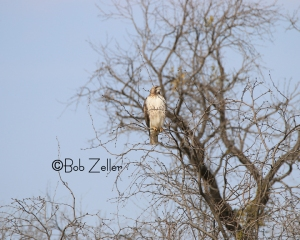 Red-tailed Hawk on tree branch.