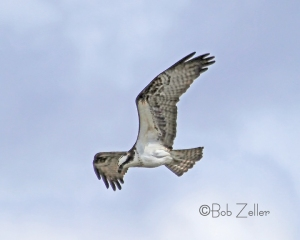 Osprey on the hunt.