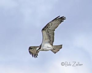 Osprey on the hunt.