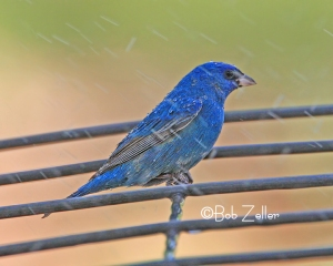 Indigo Bunting - bath time