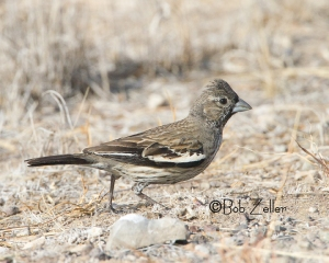 Lark Bunting - adult winter male
