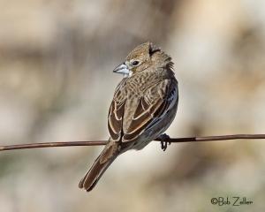 Lark Bunting - adult winter male