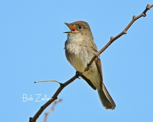 Eastern Phoebe found something to sing about.