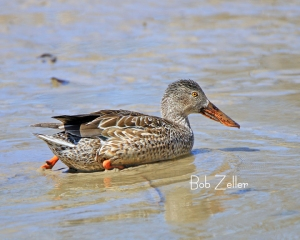 Northern Shoveler - a pretty female.