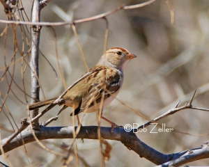 White-crowned Sparrow - a juvenile looking pretty good.