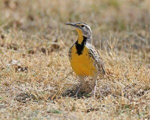 Western Meadowlark - ya gotta love that yellow breast.