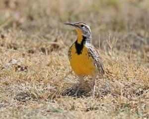 Western Meadowlark - ya gotta love that yellow breast.