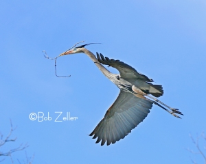 Great Blue Heron - breeding time and gotta build a place for the wife and kids.
